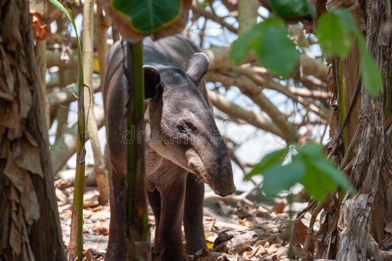 Baird`s tapir in Corcovado National Park. Baird`s tapir Tapirus bairdii in Corcovado National Park, Costa Rica royalty free stock image