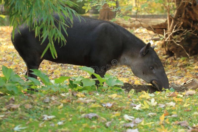Baird tapir royaltyfri bild