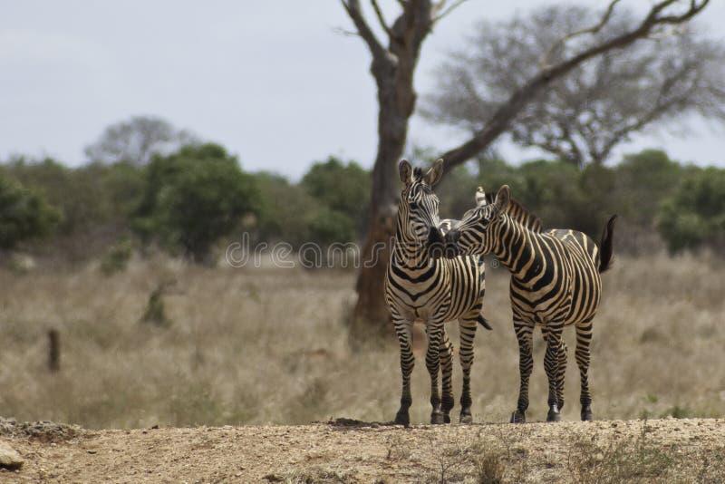 Baiser africain photo libre de droits