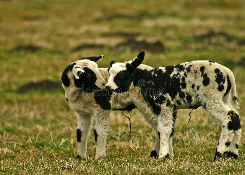Baiser d'agneau photo stock