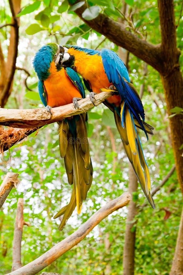 Baisers colorés de macaws de couples photographie stock libre de droits
