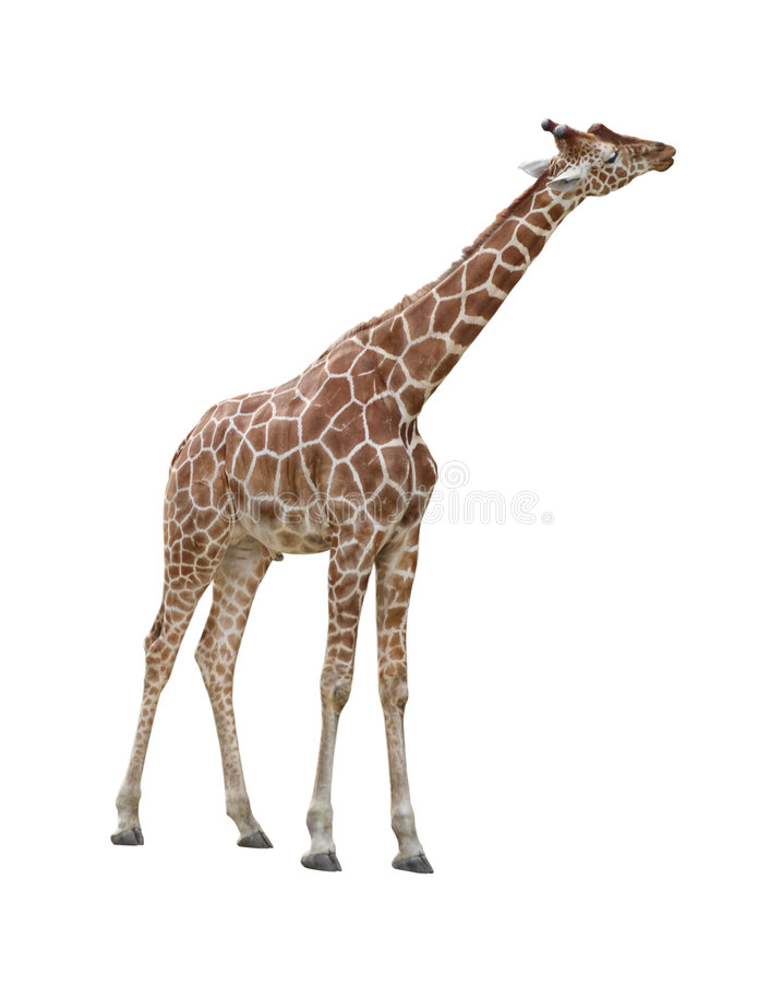 baisers de giraffe de découpage images libres de droits
