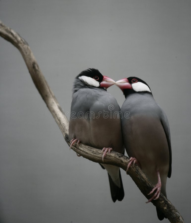 Baisers de l'oiseau images libres de droits