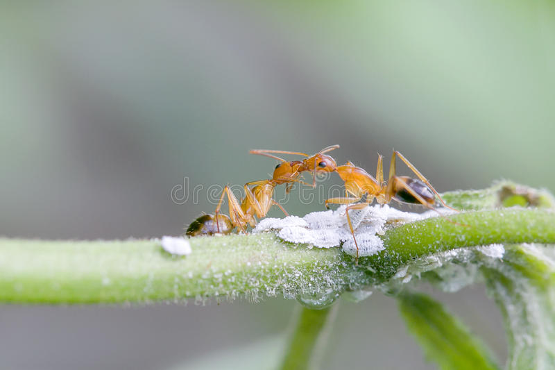 baisers des fourmis photos stock