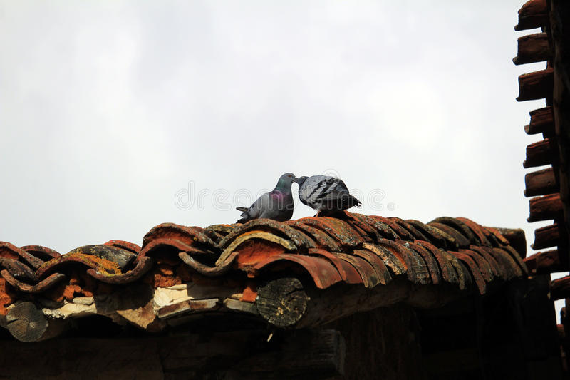 Baisers des pigeons images libres de droits