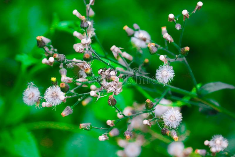 Baishakhi witte bloemen stock afbeelding