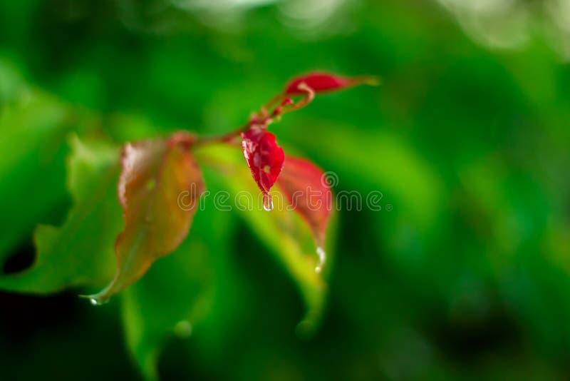 Baisse d'eau douce Rosée de nature sur la feuille verte photo stock