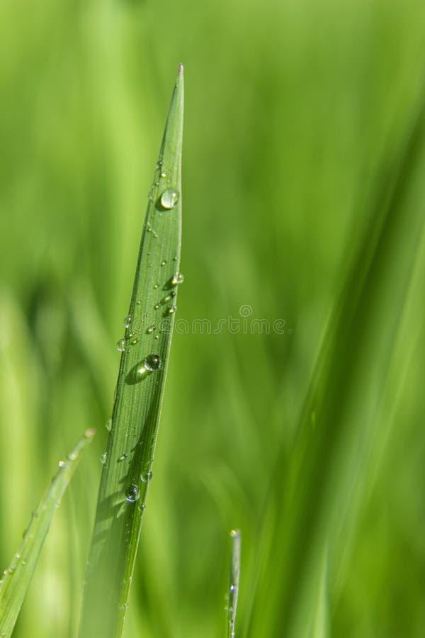 Baisse de l'eau de lame d'herbe verte photos libres de droits