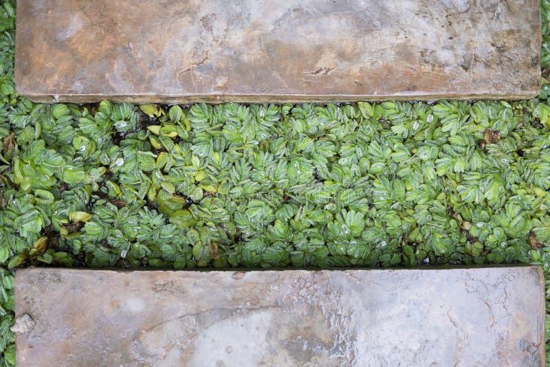 Baisse de l'eau de pluie sur les feuilles vertes fraîches Gouttelettes de rosée sur la prairie d'usine photographie stock libre de droits