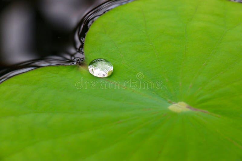 Baisse de l'eau sur la feuille de lotus photographie stock libre de droits