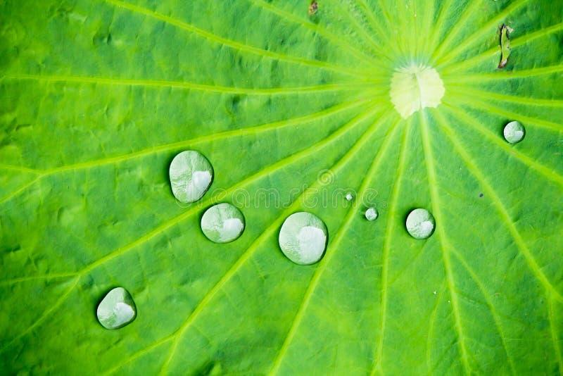 Baisse de l'eau sur la feuille de lotus dans le matin photographie stock