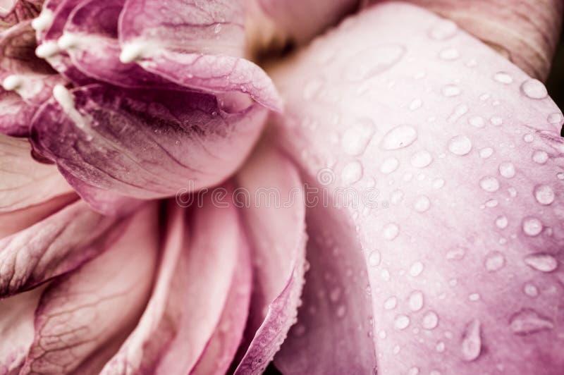 Baisse de l'eau sur la fleur de Lotus rose photographie stock