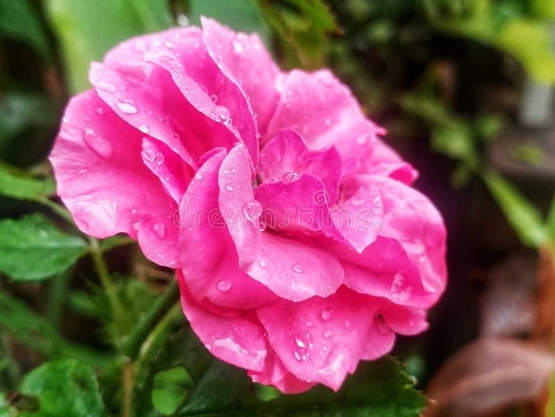 Baisse de l'eau sur la fleur image stock