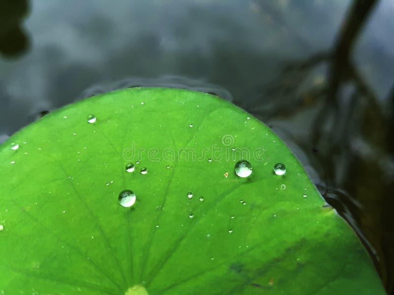 Baisse de l'eau sur la lame de lotus photo stock