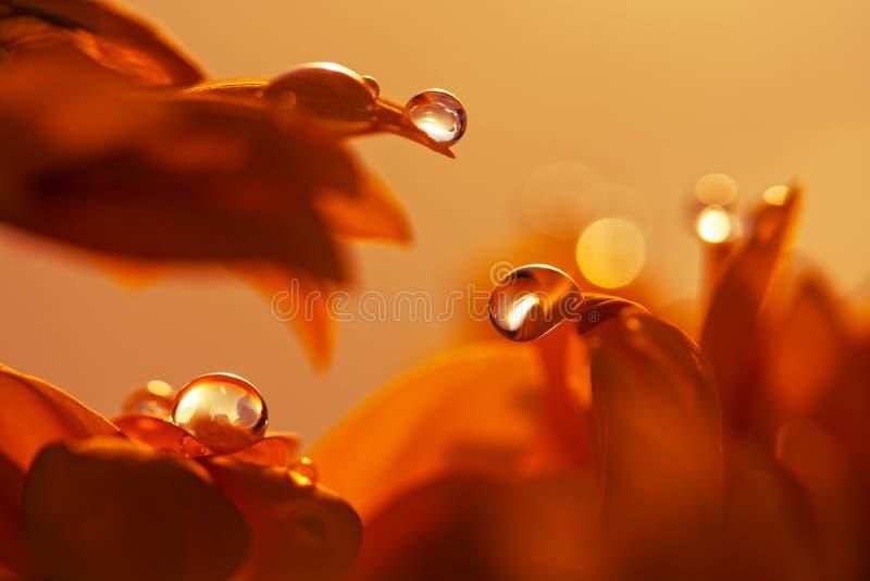 Baisse de l'eau sur le pétale rouge de fleur Macro baisses photos libres de droits