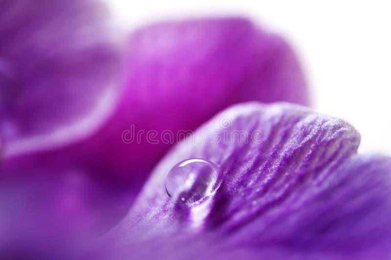 Baisse de rosée sur le pétale de fleur images libres de droits