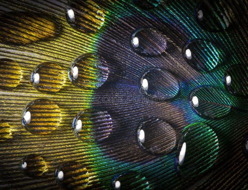 Baisse sur une plume de paon photographie stock libre de droits