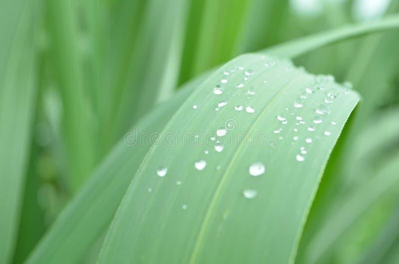 Baisses à l'usine de canne à sucre de feuilles images libres de droits