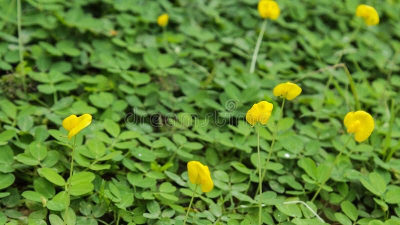 Baisses de fleur et d'eau d'arachide de Pinto dans le jardin photographie stock