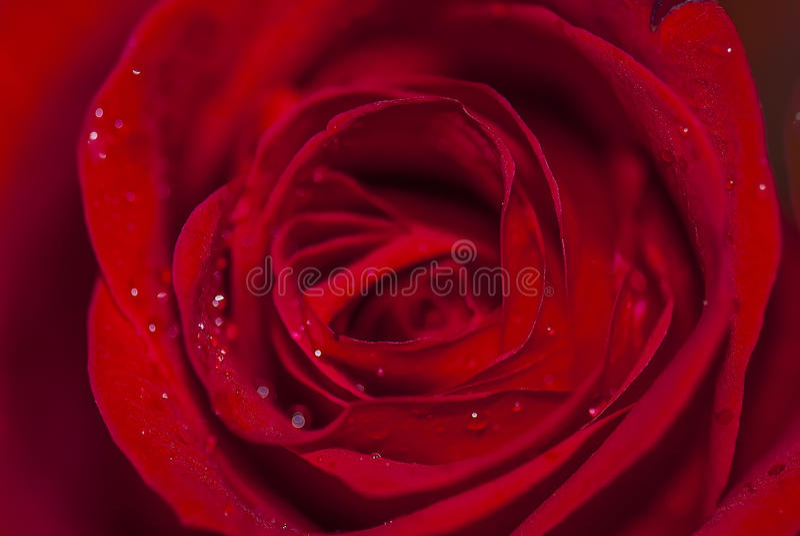 Baisses de fleur et d'eau de Rose sur les pétales, macro vue photographie stock