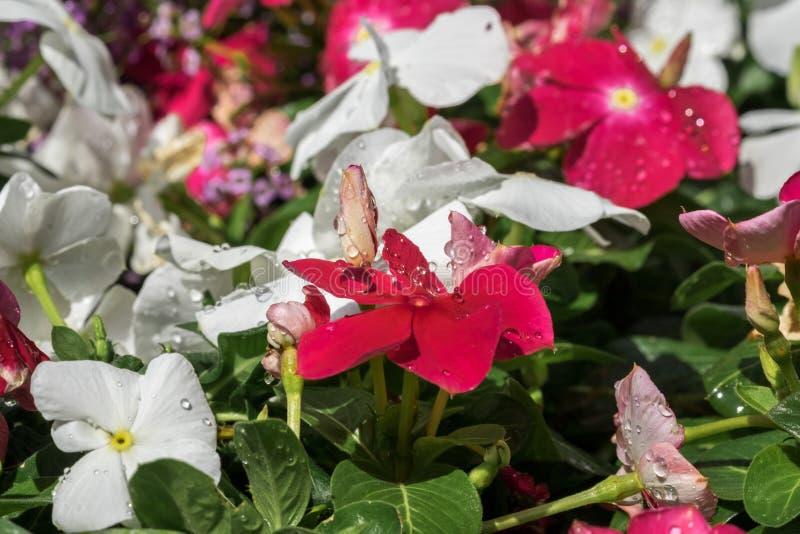 Baisses de l'eau sur des fleurs de Vinca à la serre chaude photographie stock