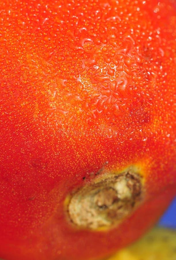 Baisses de l'eau sur la tomate image stock