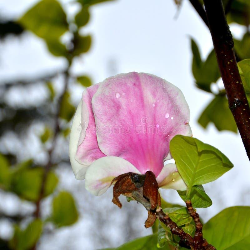 Baisses de magnolia et d'eau Fleurs gentilles dans le jardin dans le milieu de l'?t?, dans un jour ensoleill? Horizontal vert images stock