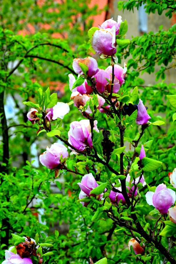 Baisses de magnolia et d'eau Fleurs gentilles dans le jardin dans le milieu de l'?t?, dans un jour ensoleill? Horizontal vert image libre de droits