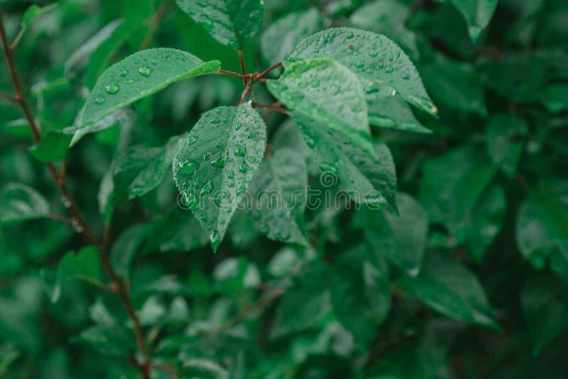 Baisses de mensonge de pluie sur les feuilles juteuses image stock