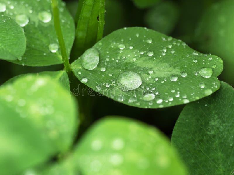Baisses de pluie sur des pétales de trèfle après plan rapproché de pluie photo stock