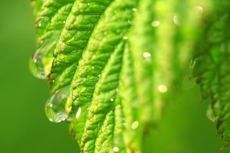 Baisses de pluie sur la lame de framboise image stock