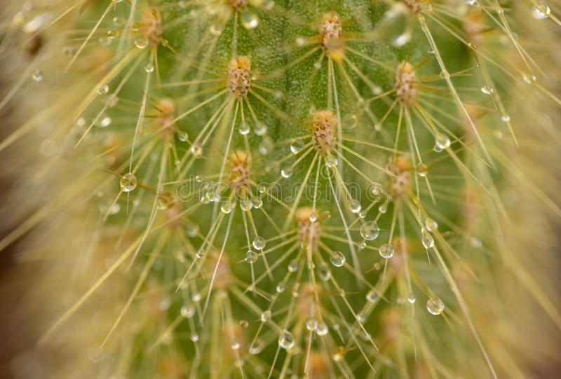 Baisses de pluie sur le cactus images stock