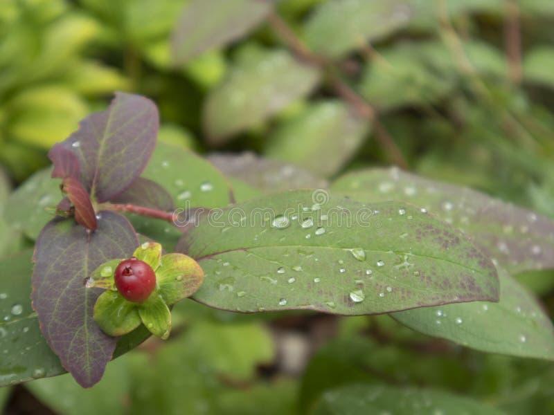 Baisses de pluie sur les lames vertes images stock