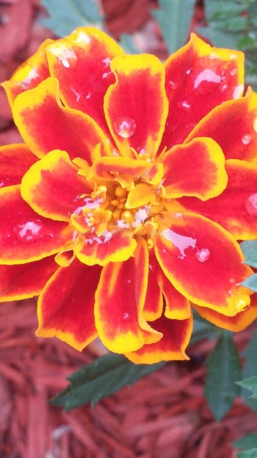 Baisses de pluie sur une fleur image libre de droits
