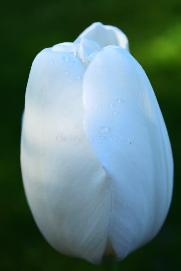 Baisses de pluie sur une tulipe blanche photos libres de droits