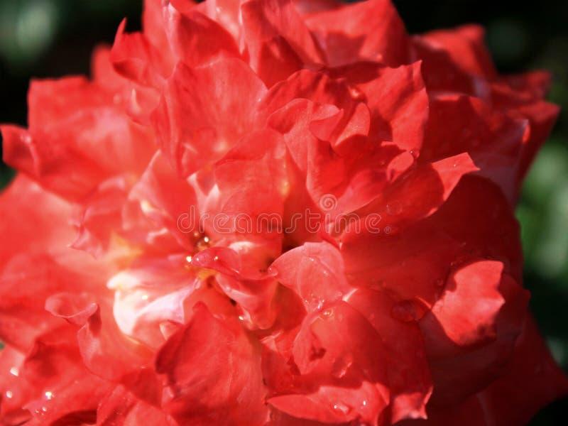 Baisses de rosée image stock