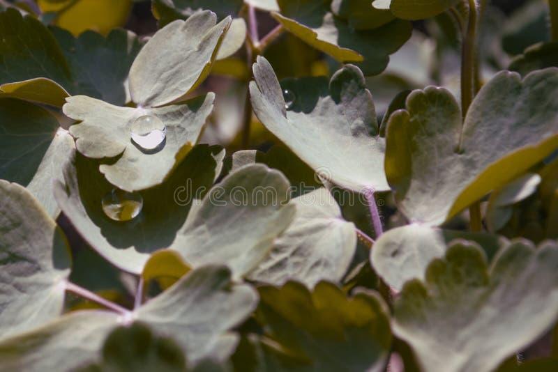 Baisses de rosée de matin sur feuilles vertes du capot de mamie d'ancolie, colombines, ancolie vulgaris un matin frais d'automne photos libres de droits
