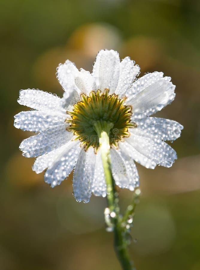 Baisses de rosée, pluie sur une camomille de fleur photos libres de droits