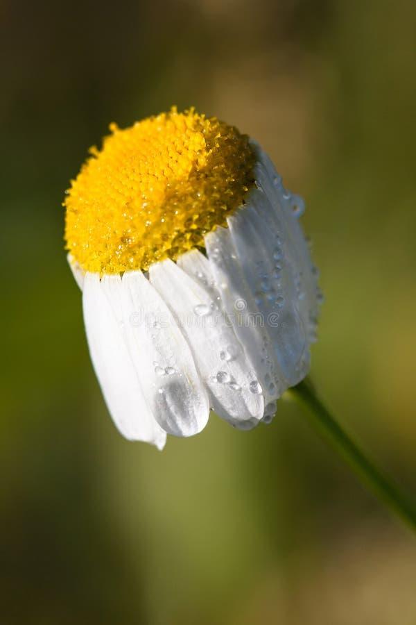 Baisses de rosée, pluie sur une camomille de fleur photographie stock libre de droits