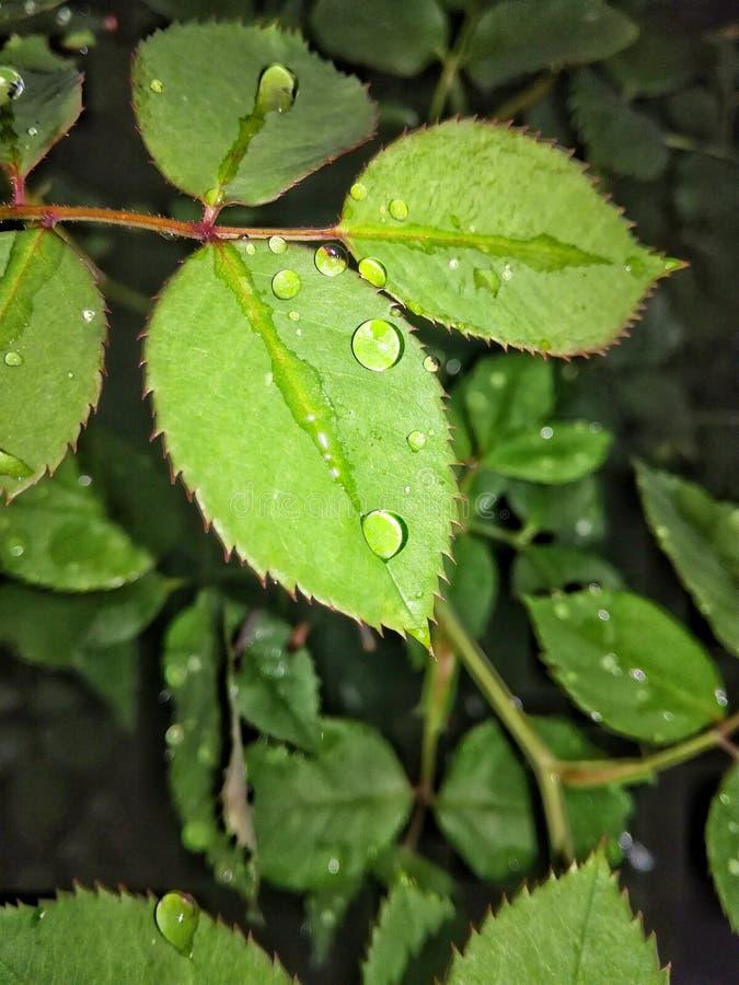 Baisses de rosée sur des feuilles photo libre de droits