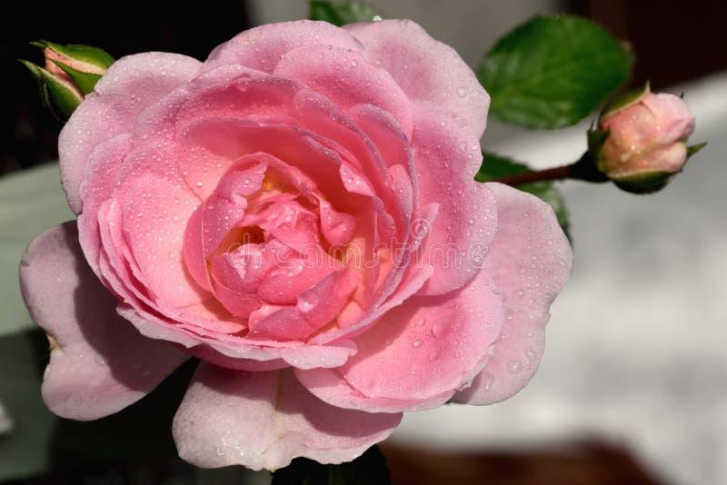 Baisses de rosée sur des pétales de rose photos stock