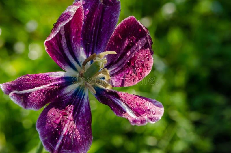 Baisses de rosée sur les pétales deflorated de fleur de fleur de tulipe photo stock