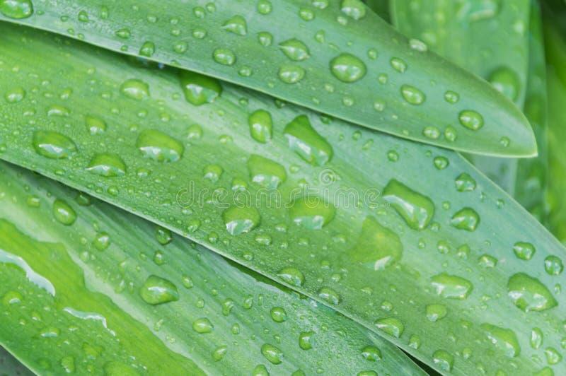 Baisses fraîches de pluie image stock