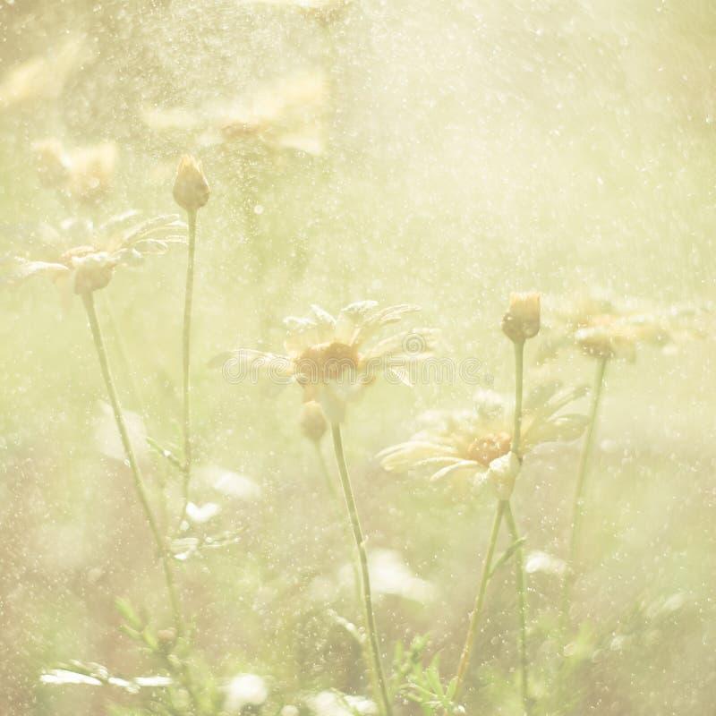 Baisses jaunes de l'eau d'esprit de chrysanthèmes Papier peint de chrysanthème Fond floral Foyer sélectif Photo modifiée la tonal photographie stock libre de droits