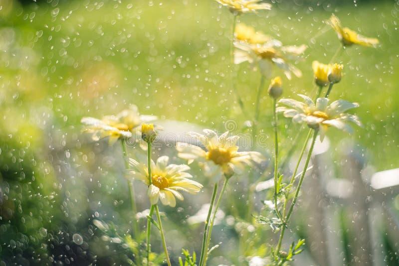 Baisses jaunes de l'eau d'esprit de chrysanthèmes Profondeur de zone Papier peint de chrysanthème photo libre de droits