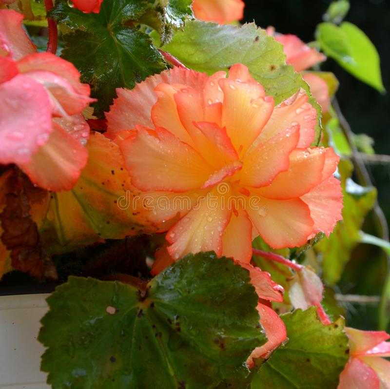 Baisses oranges merveilleuses de bégonia et d'eau Fleurs gentilles dans le jardin dans le milieu de l'été, dans un jour ensoleill image stock