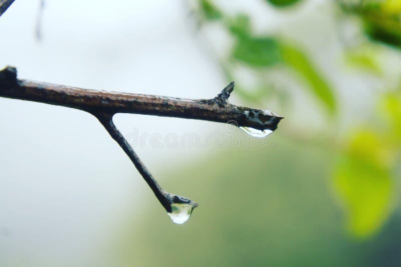 Baisses PLUVIEUSES sur la branche d'arbre photographie stock libre de droits