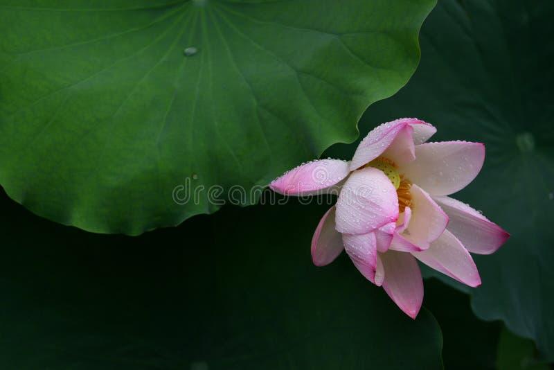 Baisses roses de pluie de Lily Lotus image stock