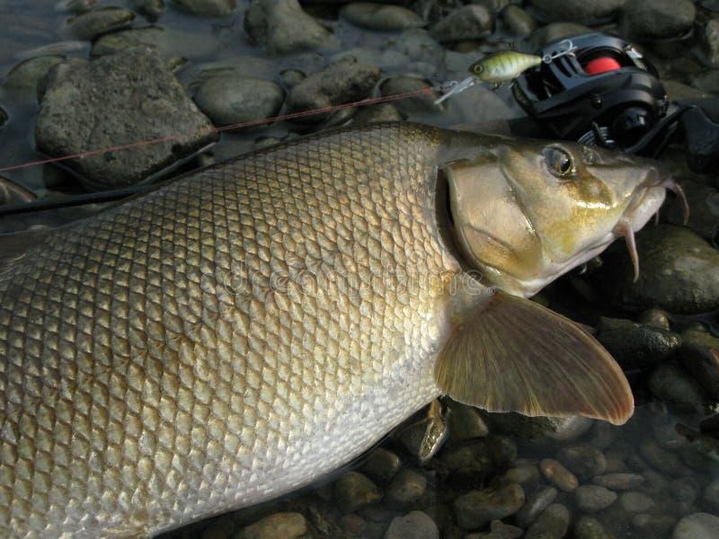 Baitcasting que pesca en el río con señuelo fotos de archivo libres de regalías