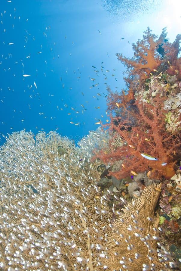 baitfish gorgonian σχολείο ανεμιστήρων & στοκ φωτογραφίες